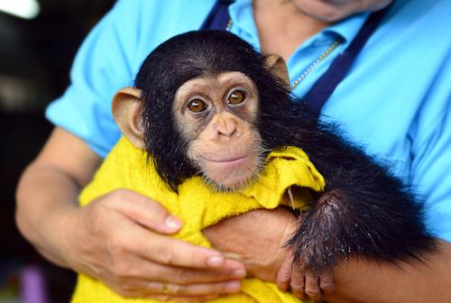 Chimp and human.jpeg
