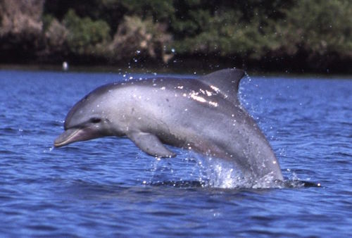 Tursiops_aduncus,_Port_River,_Adelaide,_Australia_-_2003.jpg