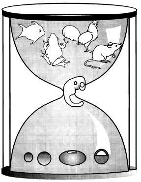 EmbryonicHourglassRichardson.JPG