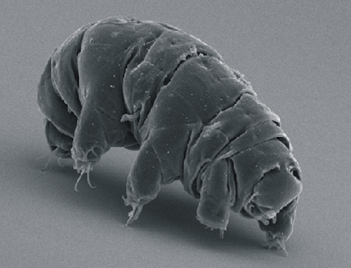 SEM_image_of_Milnesium_tardigradum_in_active_state_-_journal.pone.0045682.g001-2.png